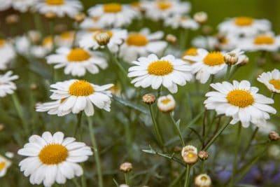 nature, fleurs, été, camomille, flore, champ, herb