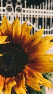 nature, summer, flora, sunflower, flower, petal, plant, macro, fence, garden