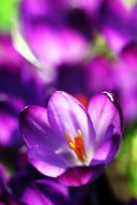 Природа, детали, цветок, макро, флора, Сад, лето, лист, Крокус