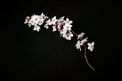çiçek, dal, flora, ağaç, petal, karanlık, gölge, karanlık, doğa, yaprak