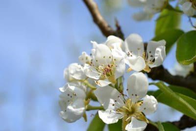 fleur, nature, pomme, arbre, feuille, flore, printemps, ciel bleu, branche