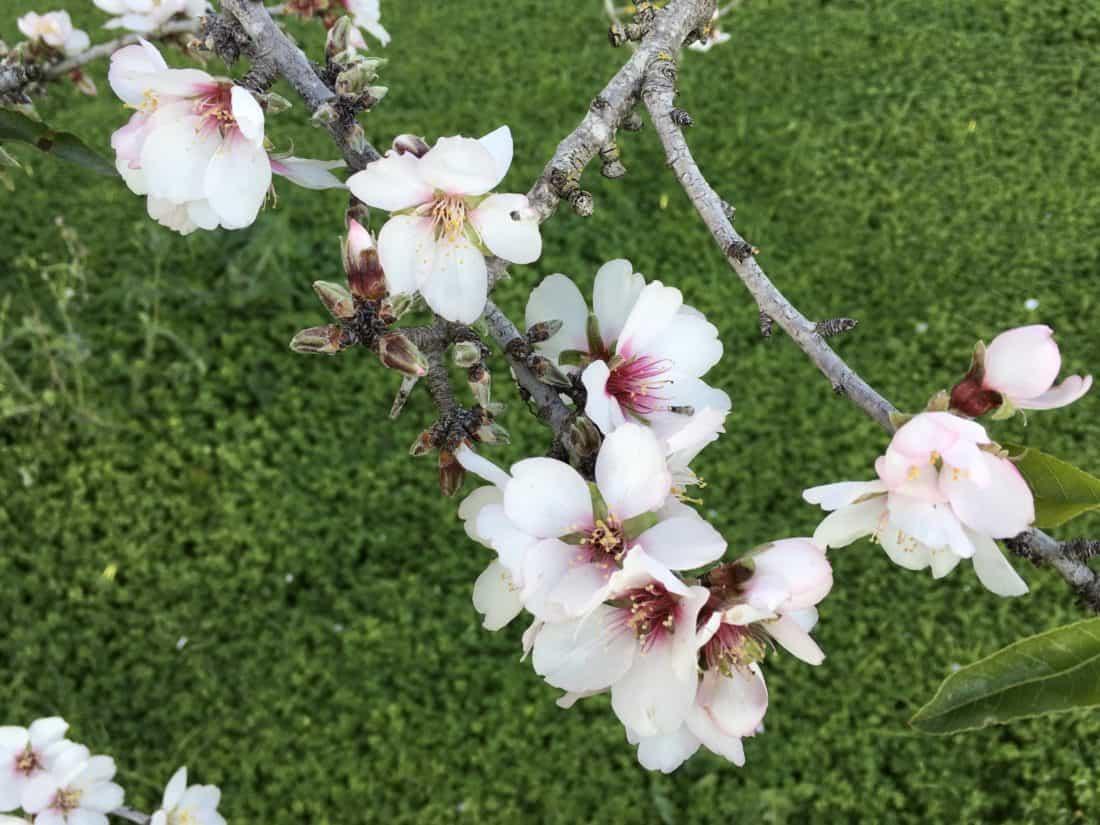 Bílý květ, větev jaro, flóra, příroda, zahrada, list, strom, okvětní lístek