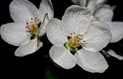 valkoinen kukka haara, luonto, lehtiä, flora, terälehti, blossom, kasvi, kukat