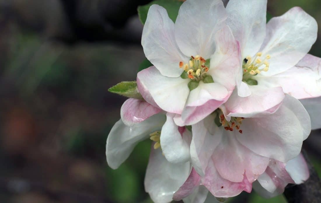 fiore, pistillo, natura, flora, giardino, foglia, petalo, pianta, primavera