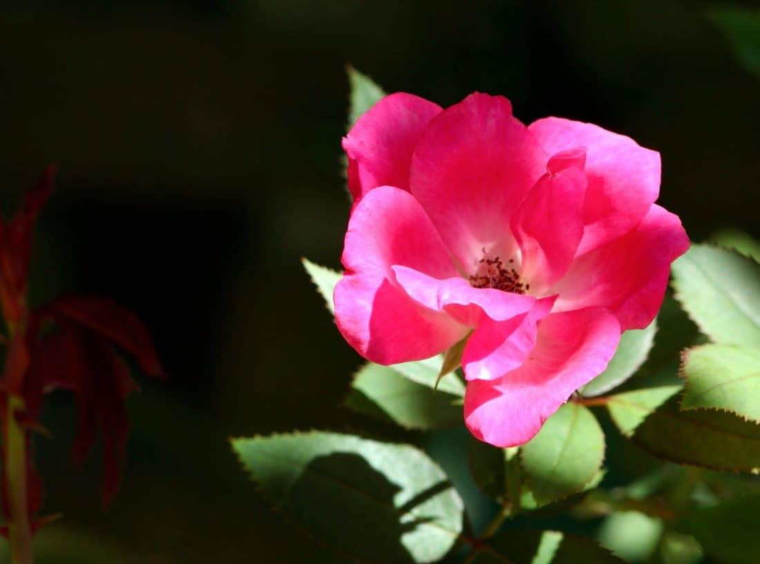 Foto gratis rosa selvatica fiore rosa rossa foglia for Pianta rosa