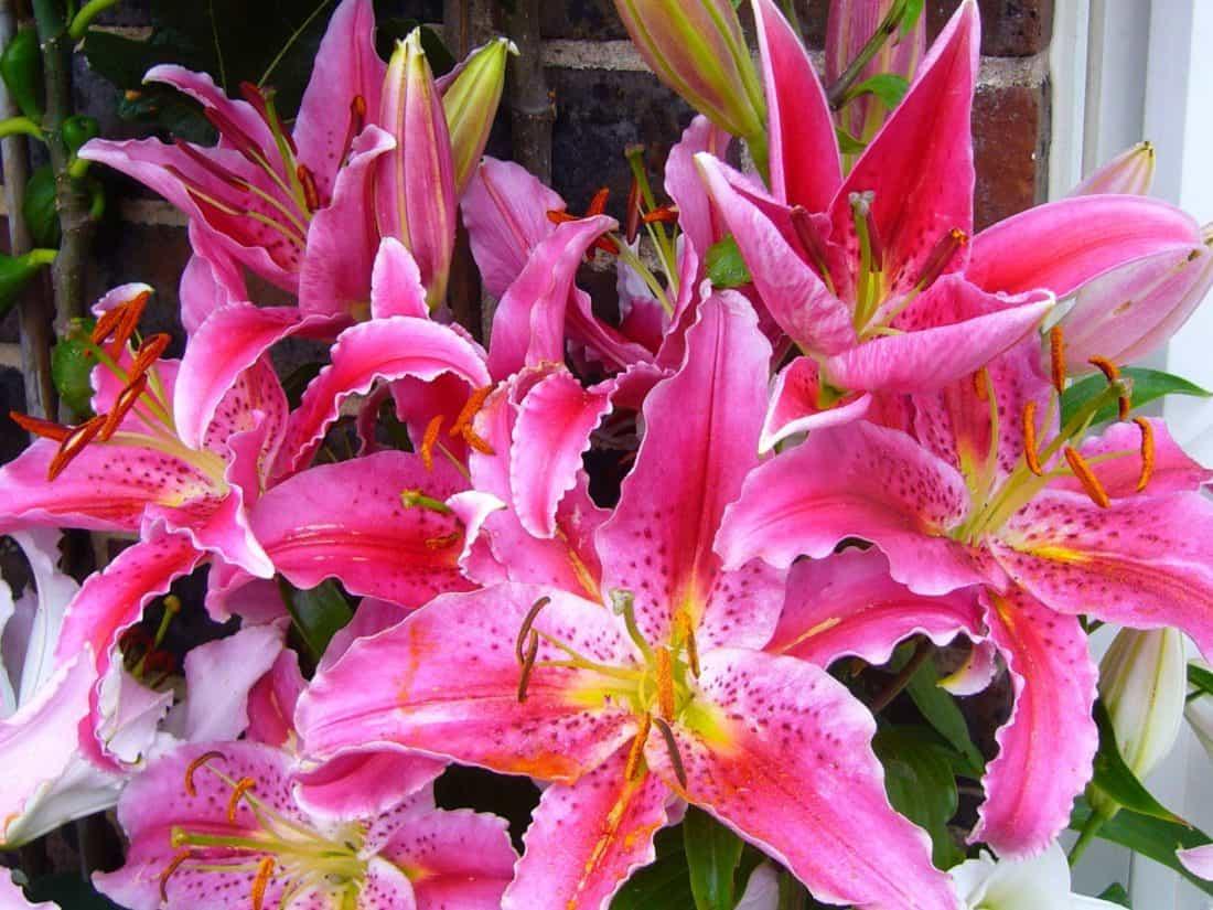 makró, bibe, pollen, természet, virág, növény, liliom, kert, nyári, levél, növény