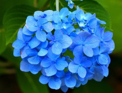 hydrangea, blue, nature, flower, flora, garden, summer, petal, leaf, herb