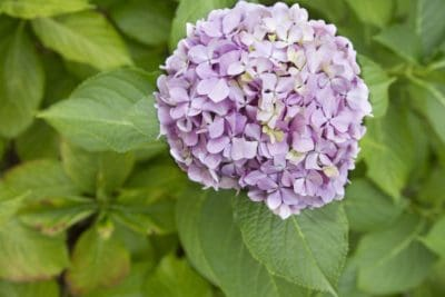 nature, leaf, flora, flower, summer, hydrangea, plant