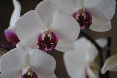 fleur, flore, élégante, pétale de nature, orchidée, blanc, exotique, branche,