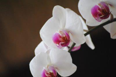 fleur, nature, feuilles élégantes, flore, orchidée blanche, rose, pétale, exotique
