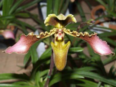 natura, flora, fiore, foglia, esotico, orchidea, polline, dettaglio, pianta, erba