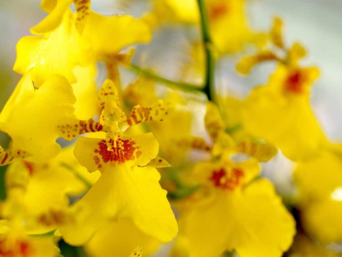 Príroda, nektár, kvet, flóra, leaf, žltá orchidea, detail, rastlín, bylina