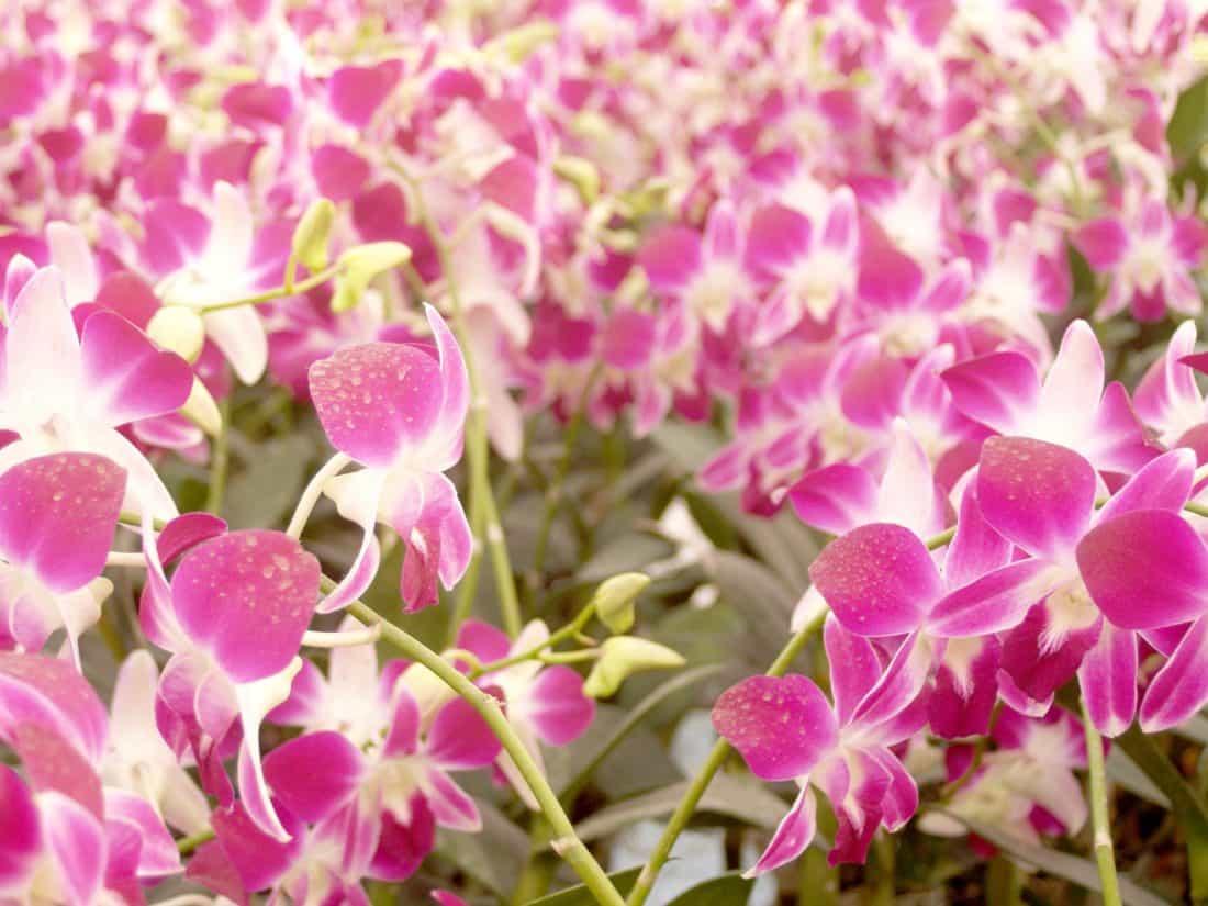 bunga, alam, flora, Taman, kelopak, Anggrek indah, pink