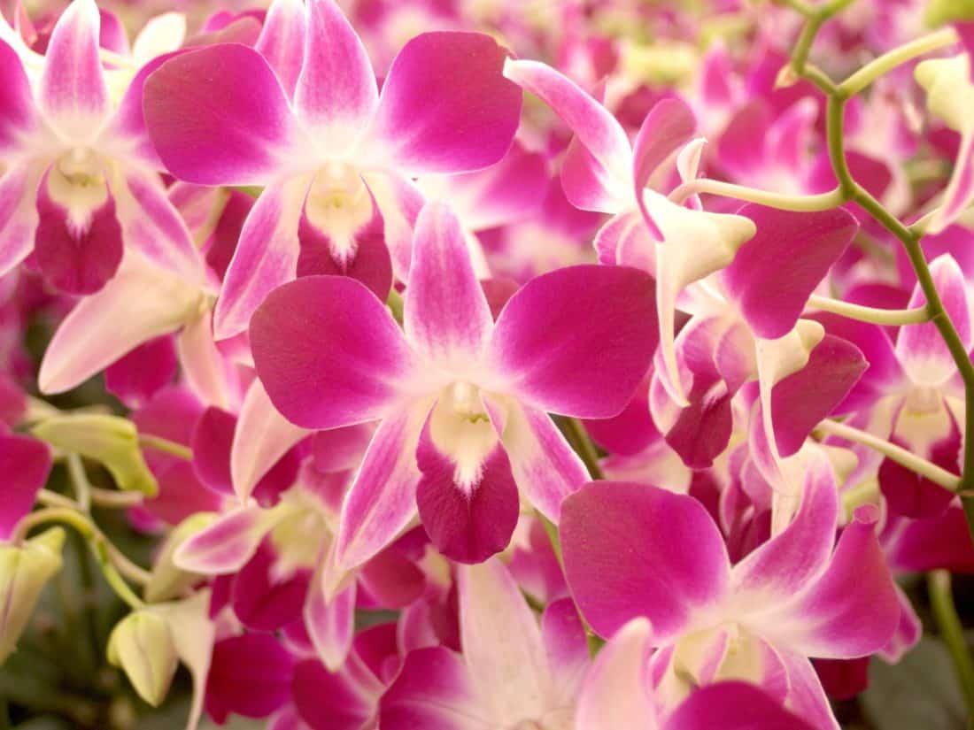Makro, Orchidee, Blume, Natur, Flora, Garten, Blütenblatt, schön, Kraut, Blatt