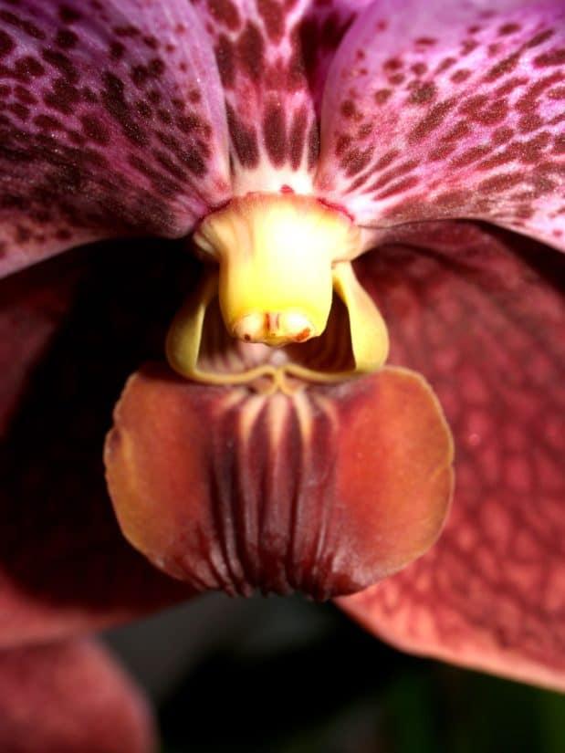 putik, makro, ramuan, detail, warna-warni, serbuk sari, bunga, alam, flora, anggrek
