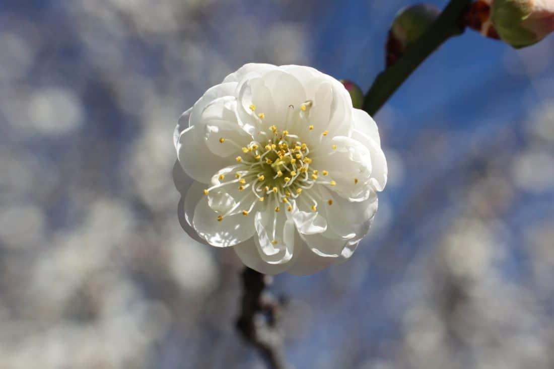 flower, spring, pistil, nature, tree, branch, flora, blossom