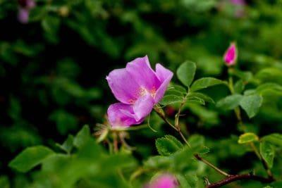 rosa selvatica, germoglio, fiore, natura, foglia, flora, giardino, estate, arbusto