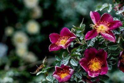 Blume, Garten, Strauch, Natur, Flora, Blatt, Sommer, Pflanzen, rosa