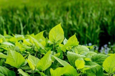 feuille, nature, flore, feuilles vertes, l'été, l'agriculture, plante, herbe