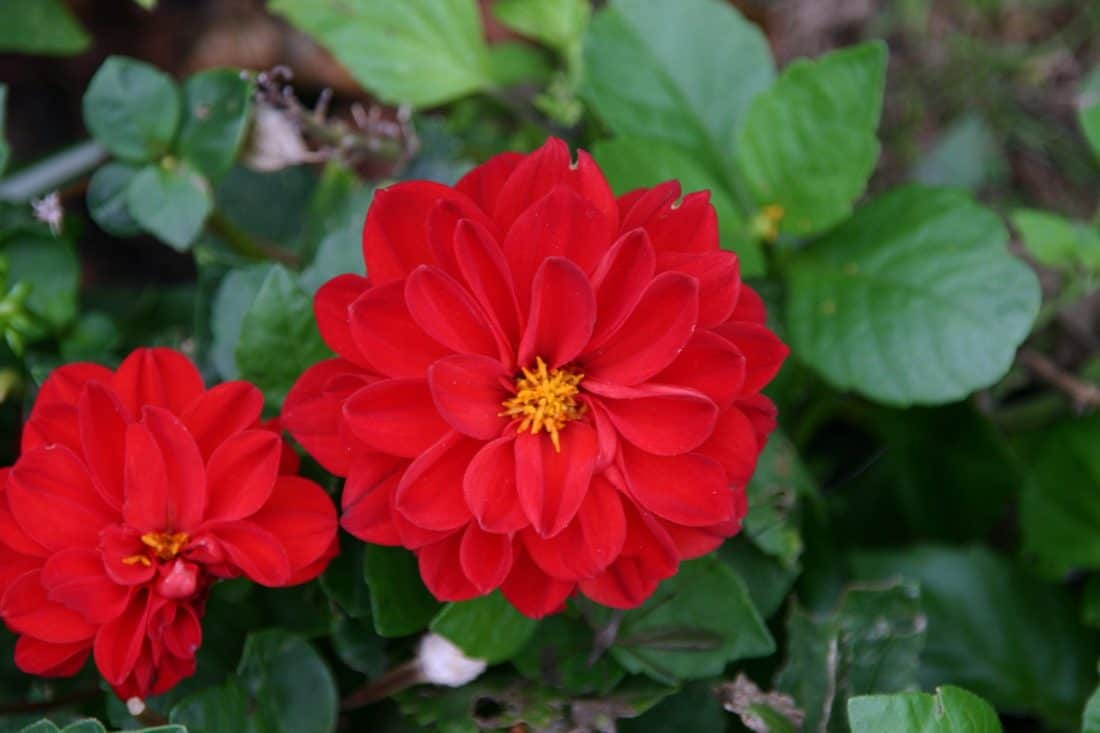 naturaleza, flor, flora, jardín, hoja, rojo, pistilo, verano, planta, Pétalo