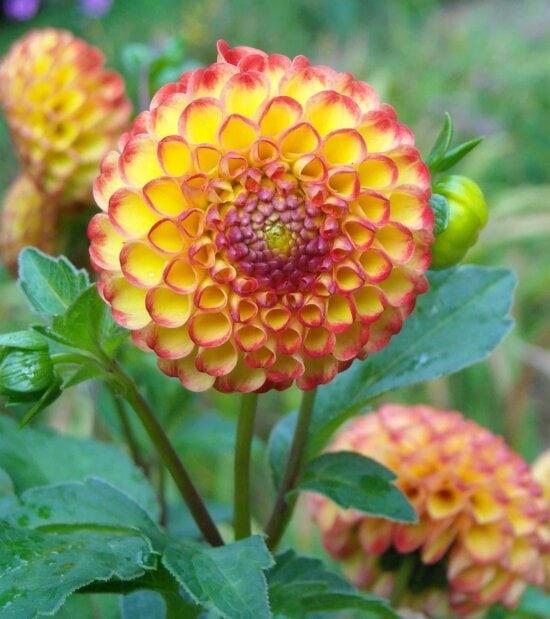 nature, summer, dahlia, flora, flower, leaf, garden, pollen, pistil, macro, plant