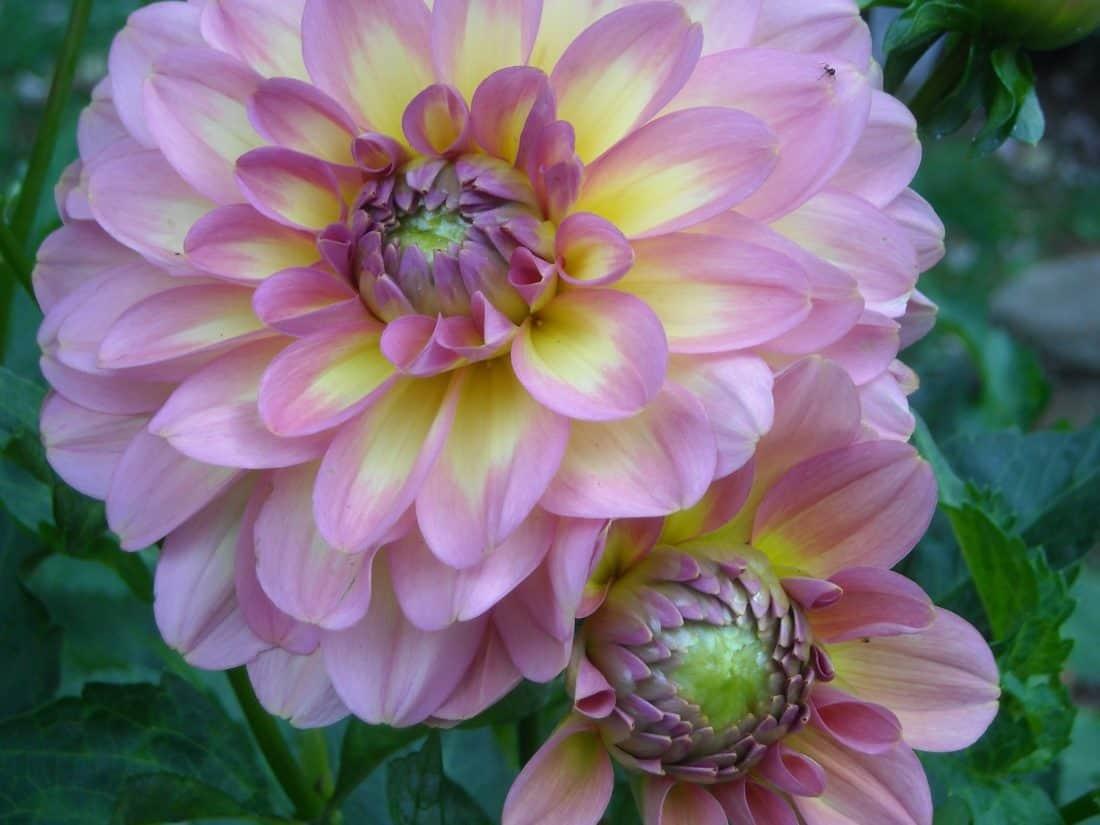 flower, nature, flora, garden, summer, dahlia, leaf