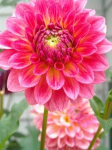 fiore, flora, natura, rosso, pistillo, macro, Dalia, giardino, petalo, estate