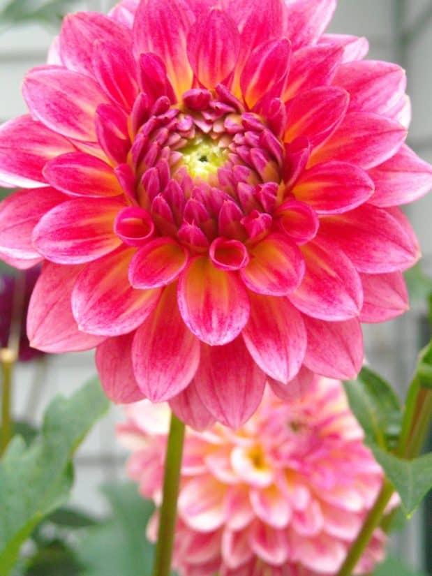 fleur, flore, nature, rouge, pistil, macro, dahlia, jardin, pétale, été