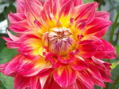 nature, flower, flora, red, pistil, garden, summer, petal, leaf, dahlia