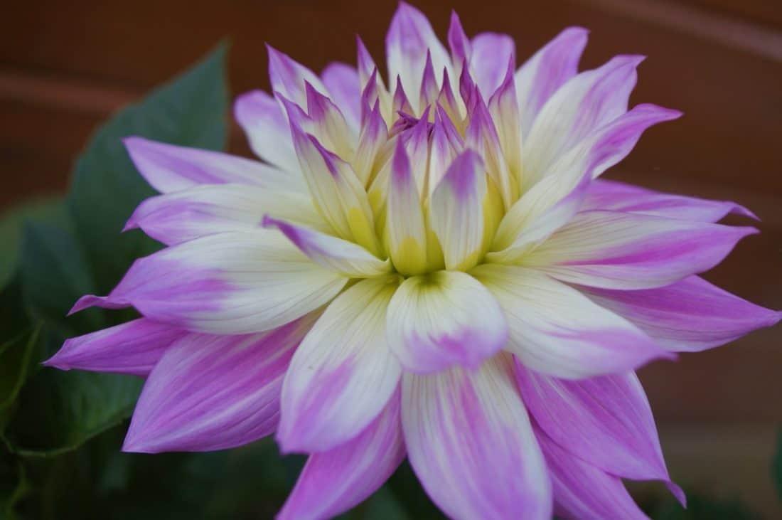 fleur, flore, dahlia, pollen, jardin, nature, feuille, pétale, belle