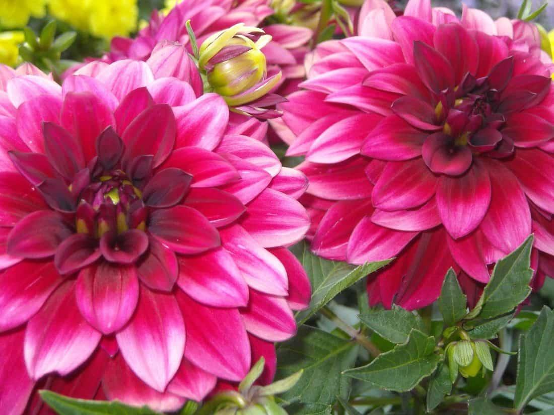 charakter, kwiat, flora, kwiat, charakter, flora, ogród, detal, makro, czerwony, Płatek