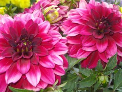 natur, blomma, flora, blomma, natur, flora, trädgård, detalj, makro, röd, kronblad
