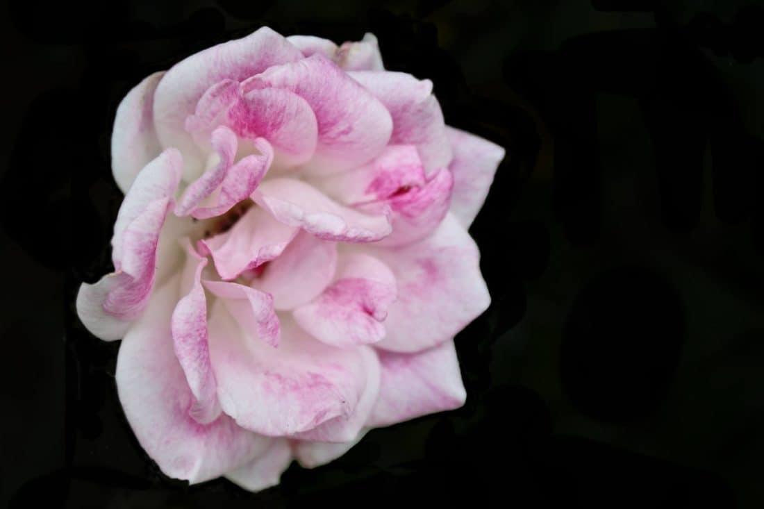 flower, wild rose, petal, pink, darkness, plant, blossom
