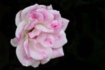 blomst, Vildrose, kronblad, pink, mørke, plante, blossom