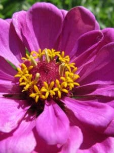 Blume, Blütenstempel, Makro, Natur, Garten, Flora, Blütenblatt, Sommer, Pflanze