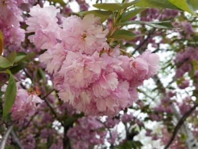 fleur, arbuste, arbre, branche, jardin, flore, nature