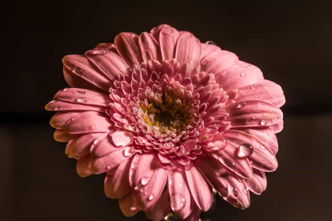 blomst, flora, natur, dugg, regndråpe, kronblad, vakre, hage, tusenfryd
