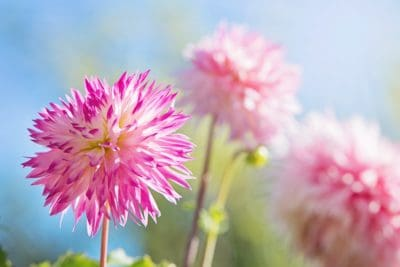 flower, nature, flora, summer, petal, garden, leaf, pink, blue sky
