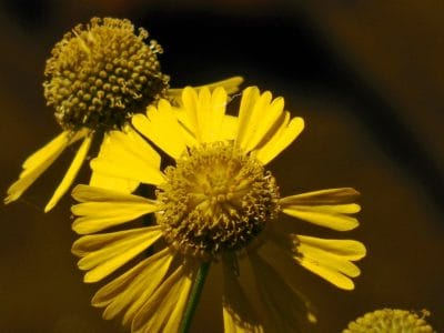 bloem, stamper, macro, geel, weide, detail, stuifmeel, natuur, flora