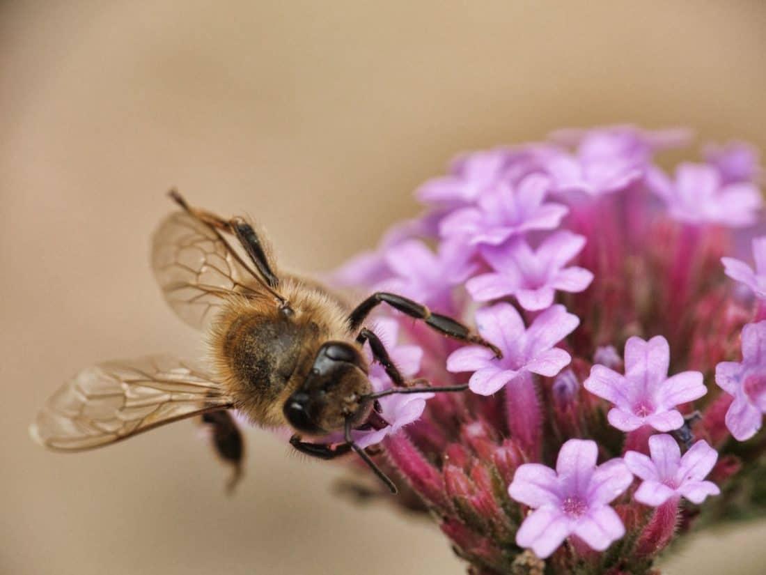 花朵,昆虫,自然,药草,宏观,植物,蜜蜂,动物,节肢动物鸽子口粮繁致期每天元宝图片