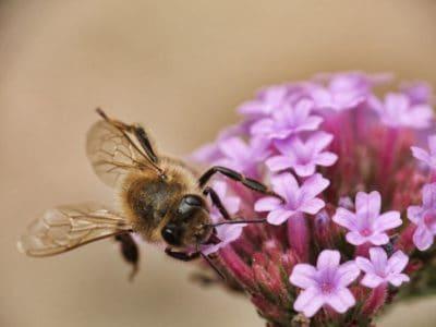 Pszczoła, owad, charakter, kwiat, zwierzę, makro, roślin, zioło, stawonogów
