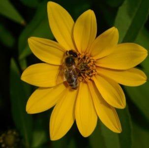 Pszczoła, owad, charakter, kwiat, makro, słupek, pyłek, miód, flora, lato