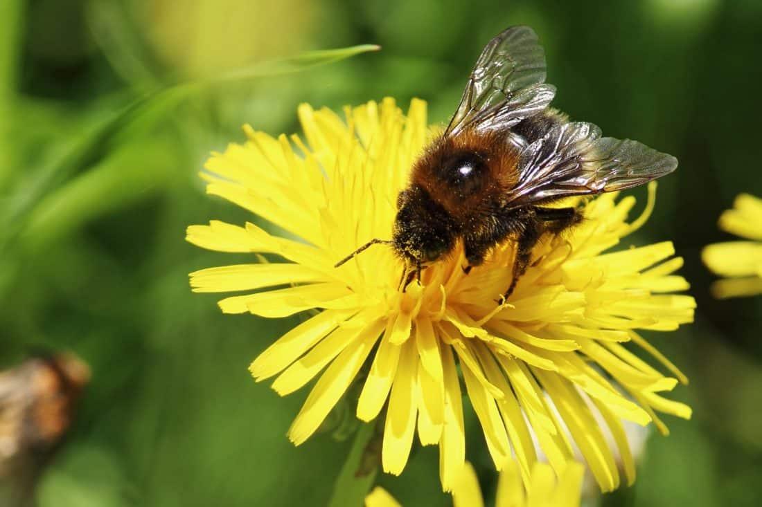 Природа Бджола Комаха, Пилок, квітка, макрос, літо, Флора
