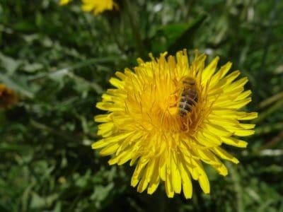 Bee, natur, bee, insekt, blomst, pollen, sommer, honning, flora