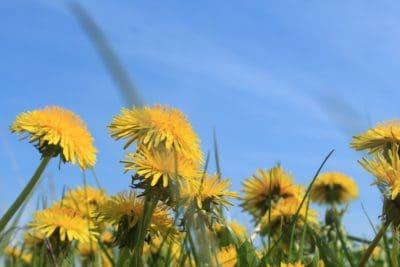 flower, nature, field, blue sky, flora, summer, grass, dandelion