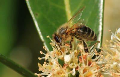 természet, rovar, méh, virágpor, méz, állat, makró, beporzás, vad