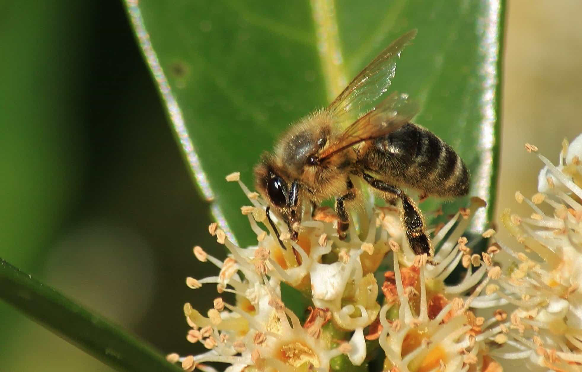 kostenlose bild natur insekten bienen pollen honig tier makro best ubung wild. Black Bedroom Furniture Sets. Home Design Ideas
