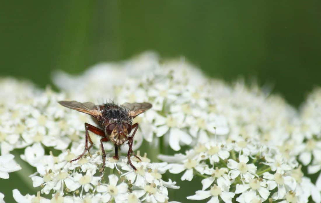 insecte, nature, macro, animaux, détail, zoologie, fleur, abeille, jardin, arthropodes, plante