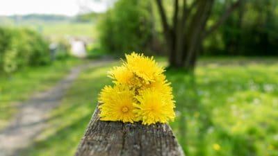 природата, лято, ливада, флора, цвете, листо, растение, билка, глухарче