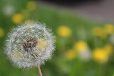 dandelion, nature, macro, flora, summer, flower, grass, herb
